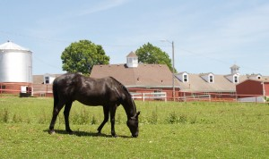 A black horse eating grass inside Stephens College Campus.