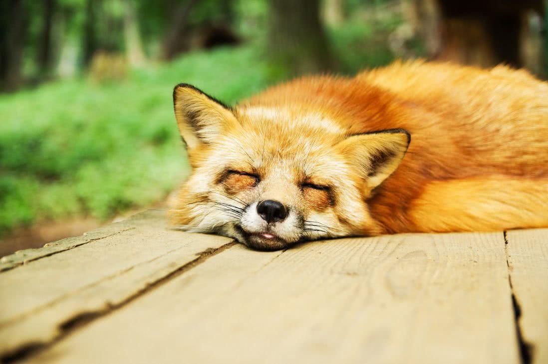 Take quick naps like this fox