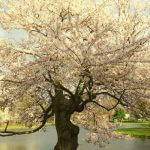 A tree blooming in the spring.