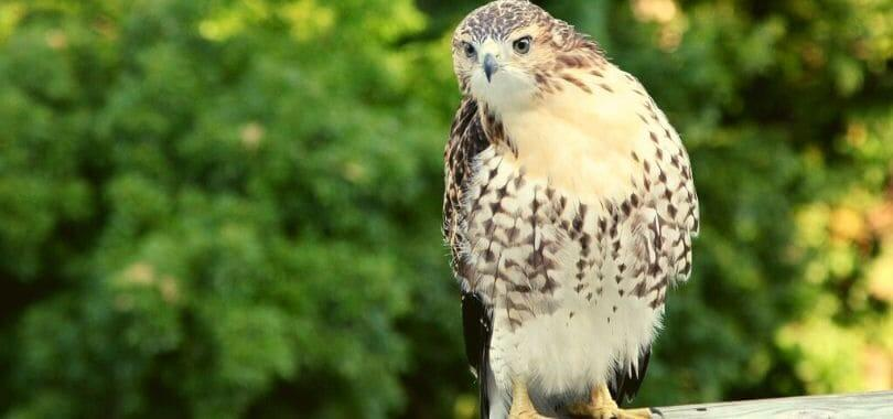 A hawk perched on a log.