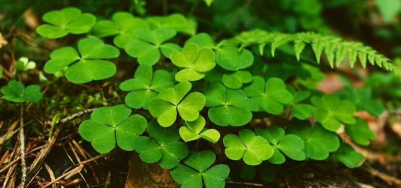 A patch of clovers.