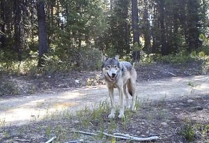 Gray wolf in the woods.