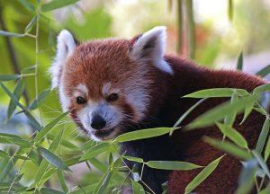 Red Panda eating Bamboo Shoots