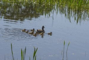 ducks at whitman college