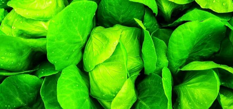 A close-up of lettuce leaves.