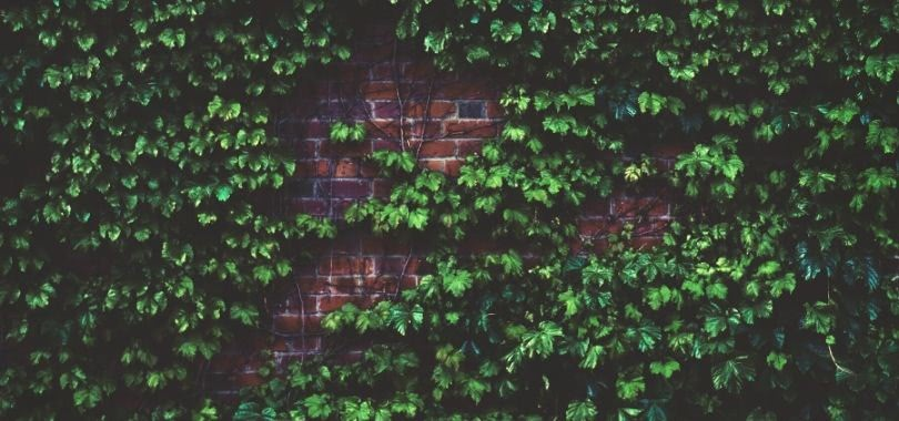 Ivy on the red brick wall of a college building.